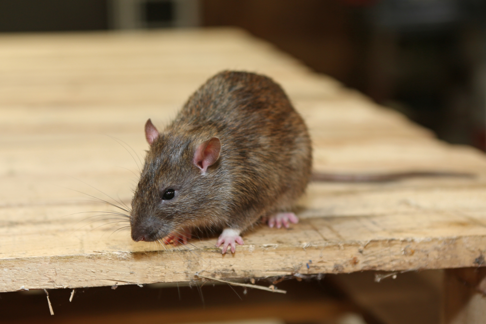 Rat Control, Pest Control in Croydon, Addiscombe, Selhurst, CR0. Call Now 020 8166 9746